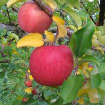 葉とらずりんご